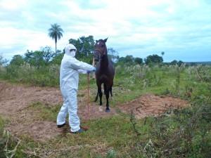 Égua diagnosticada com mormo