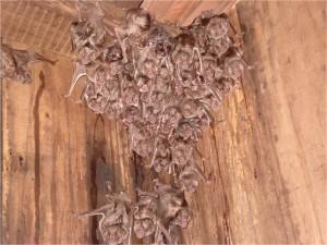 Morcego após aplicação de substância anticoagulante